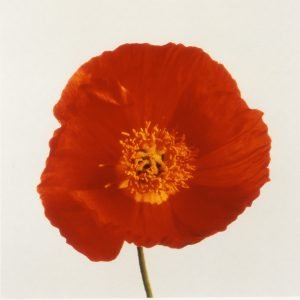 Poppy - Lord Snowdon.jpg