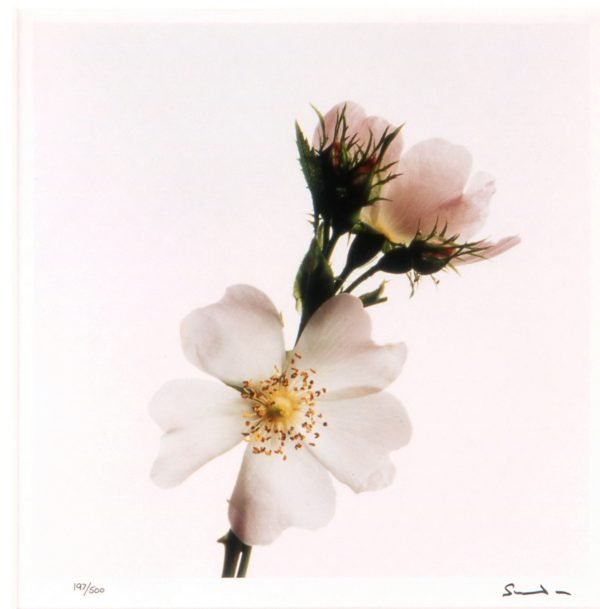 Dog Rose - Limited Edition Signed Photography by Lord Snowdon